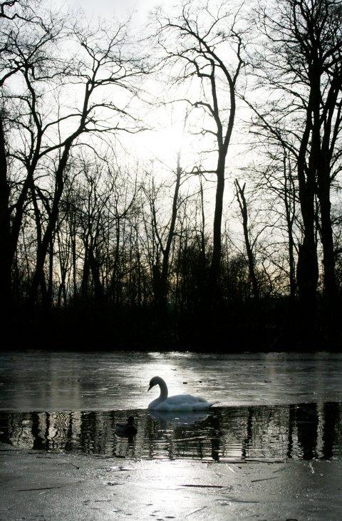 ein einsamer Schwan treibt im zugefrorenen See